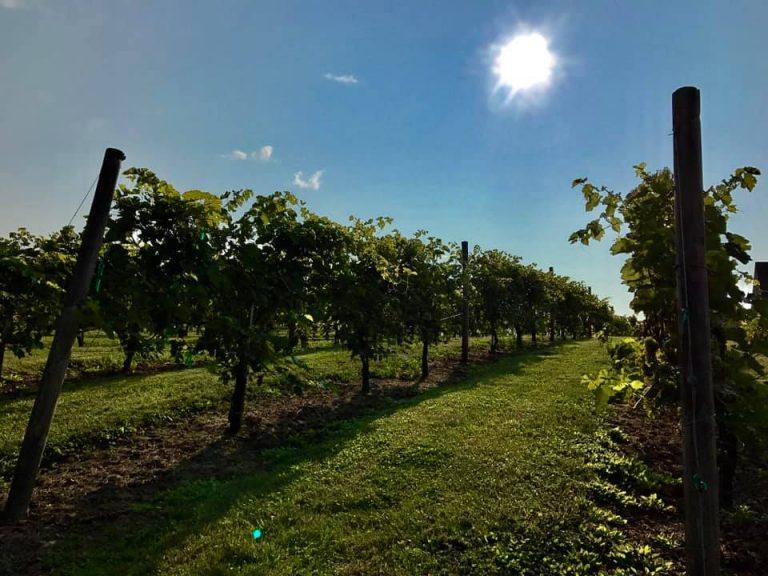 black-bear-vineyard-vines-sun1